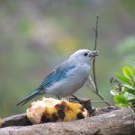 Blue and grey tanager
