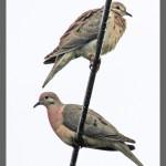 ground doves