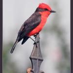 Vermillion flycatcher, male