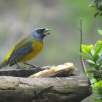 Blue and yellow tanager, male