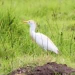 cattle egret breeding