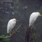 cattle egrets non-breeding