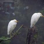 cattle egrets non-breeding