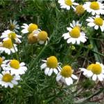 manzanilla (chamomile)