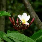 pep flower dbs