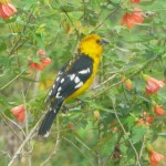 southern yellow grosbeak male