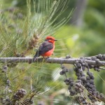 Vermillion flycatcher male