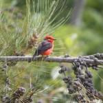 Vermillion flycatcher male